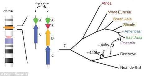 Araştırmacılar Denisovaların genomunda duplike olmuş bir DNA segmenti buldular (sol tarafta gösterilmiş). İnsanlarla melezleşme gerçekleşmeden 440.000 yıl kadar önce oluştuğu görülebilir.