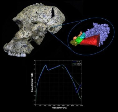 Evolution-hominin-hearing