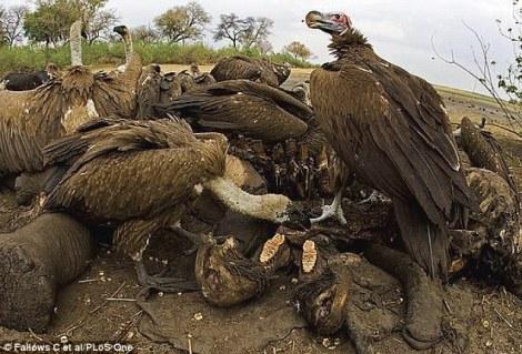 Akbabaların beslendikleri leşlerdeki etlerde üremiş olabilen bakterilerden kaynaklanan zehirlenmelerden korunmalarını sağlayabilecek yüksek mide asidi düzeyi bulundurdukları saptandı.