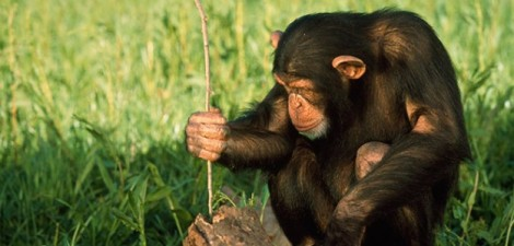 chimps-trade-tools-to-help-pals-130320-660x433-625x300