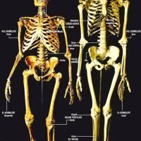 Görsel: Neandertal ve Modern İnsan Arasındaki Genel Kemik Farklılıkları
