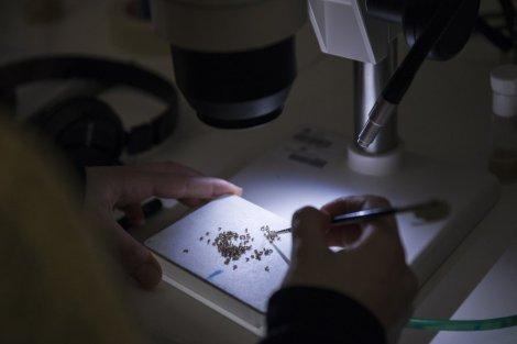Laboratuvarda meyve sinekleriyle çalışan bilim insanı