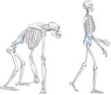 Bipedalizm, insan evriminin oldukça önemli aşamalarından biridir.