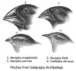 Darwin İspinozu kuşlarının gaga yapısı, adaptif radyasyonu güzel bir örnek teşkil eder.