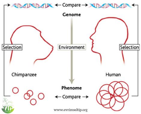 Bizi insan yapan şey nedir? Bu soru, insan ve şempanze genomlarının, büyük planda da tüm primatların komparatif incelenmesiyle yanıtlanabilir. Bu süreçte genotipin, fenotipe nasıl etki ettiği ve bu sürecin fiziksel, biyolojik ve kültürel çevreden nasıl etkilendiği hakkında fikir sahibi olmalıyız.