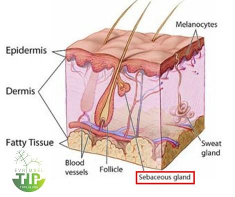 Kıl foliküllerinin yakınında yer alan yağ bezleri, akne oluşumuna neden olan yapılardandır.