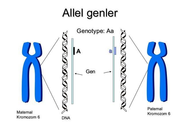 allel gen