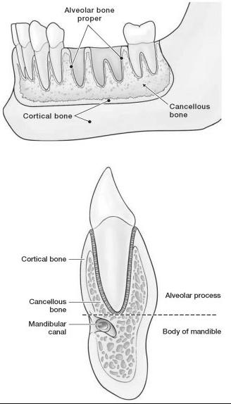 Alveolar Proses